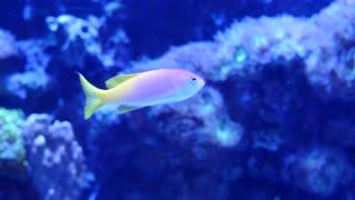 Beautiful tropical fish swimming around a tank