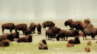 Big Herd of Buffalo with Calves by Lake