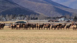 big herd of elk in a field by houses panning shot