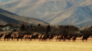 big herd of elk in a field by town panning shot