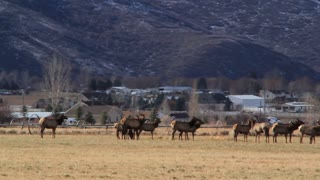 big herd of elk in a fields by town panning shot