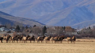 big herd of elk in fields by town panning shot