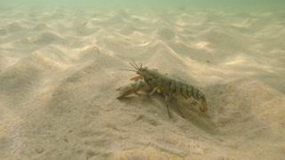 Big lobster walking on the sandy ocean floor