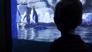 Boy watches gentoo penguins inside the cold aquarium