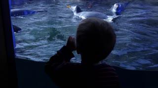 Boy watching gentoo penguins inside the cold aquarium