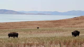 Buffalo and Antelope by Mountain Lake