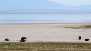 Buffalo on Sandy Beach