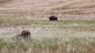 Buffalo walking through field