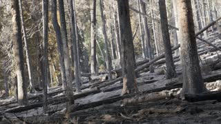 Burned forest after a large wildfire panning shot