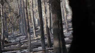 Burned trees after a large wildfire panning shot