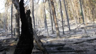 Burned trees after a wildfire rack focus