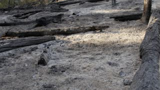 Burned trees after a wildfire tilting shot