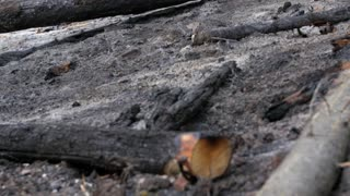 Burnt trees after a forest fire tilting shot