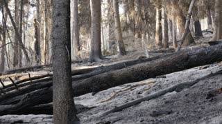Burnt trees after a forest fire