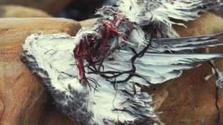 Carcass of a dead seagull after an eagle killed and ate it