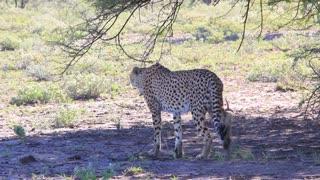 Cheetah lies down