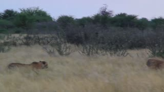 Cheetah run in grass