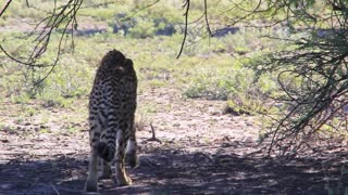 Cheetah walks away