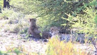 Cheetahs lying down