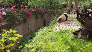 chinese at giant panda breeding research center in chengdu