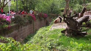 chinese at the giant panda breeding research center in chengdu