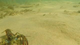 Cool large lobsters in defense along the ocean floor beach