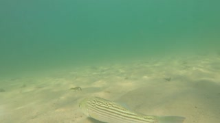 Cool sea bass moving along the ocean floor beach under swimmer