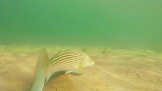 Cool sea bass moving along the ocean floor beach