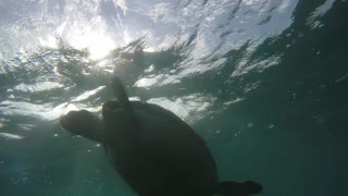Cool sea turtle eating swimming underwater through ocean