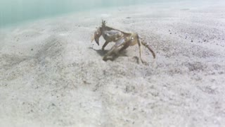 Crab Traveling Across Sand Underwater