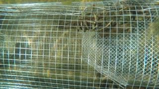 Crawdad in an underwater metal trap in lake