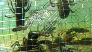 Crawdad in an underwater metal trap