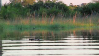 Crocodile submerging