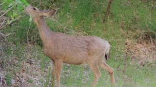 deer grazing at zion national park utah