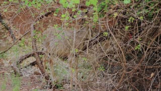 deer grazing at zion national park