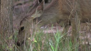 deer grazing in zion national park