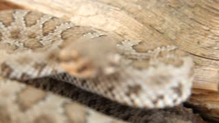 Desert great basin rattlesnake on log