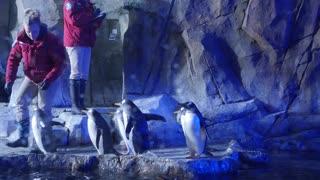 Editorial trainers clean gentoo penguins inside the cold aquarium