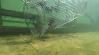 Freshwater crawdad in a underwater metal trap in lake