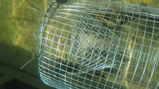 Freshwater crawdad in an underwater metal trap in lake