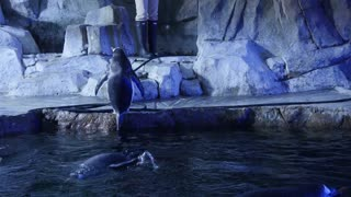 Gentoo penguins inside the cold aquarium