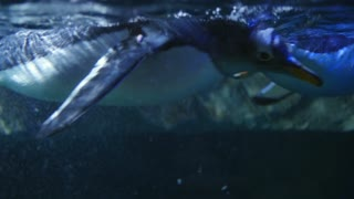 Gentoo penguins swimming through the water