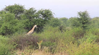 Giraffe head above trees