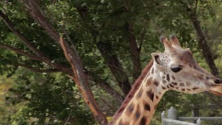 Giraffes at the Zoo 2