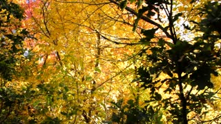 Golden Fall Leaves Panning Dolly Shot
