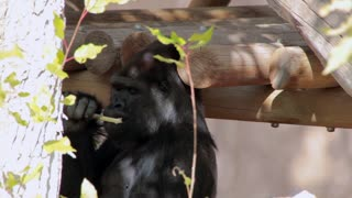Gorilla in Captivity