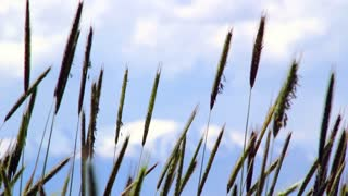 Grass blowing in wind closeup