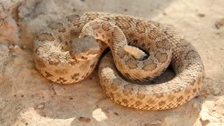 Great Basin rattlesnake ready to strike