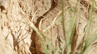 Great Basin rattlesnake slithering in the desert