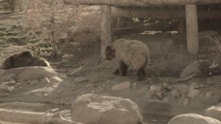 grizzly bears in slow motion at the zoo